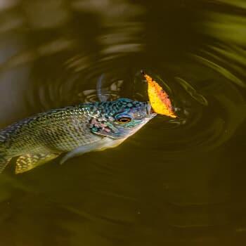 Fisch-Runde