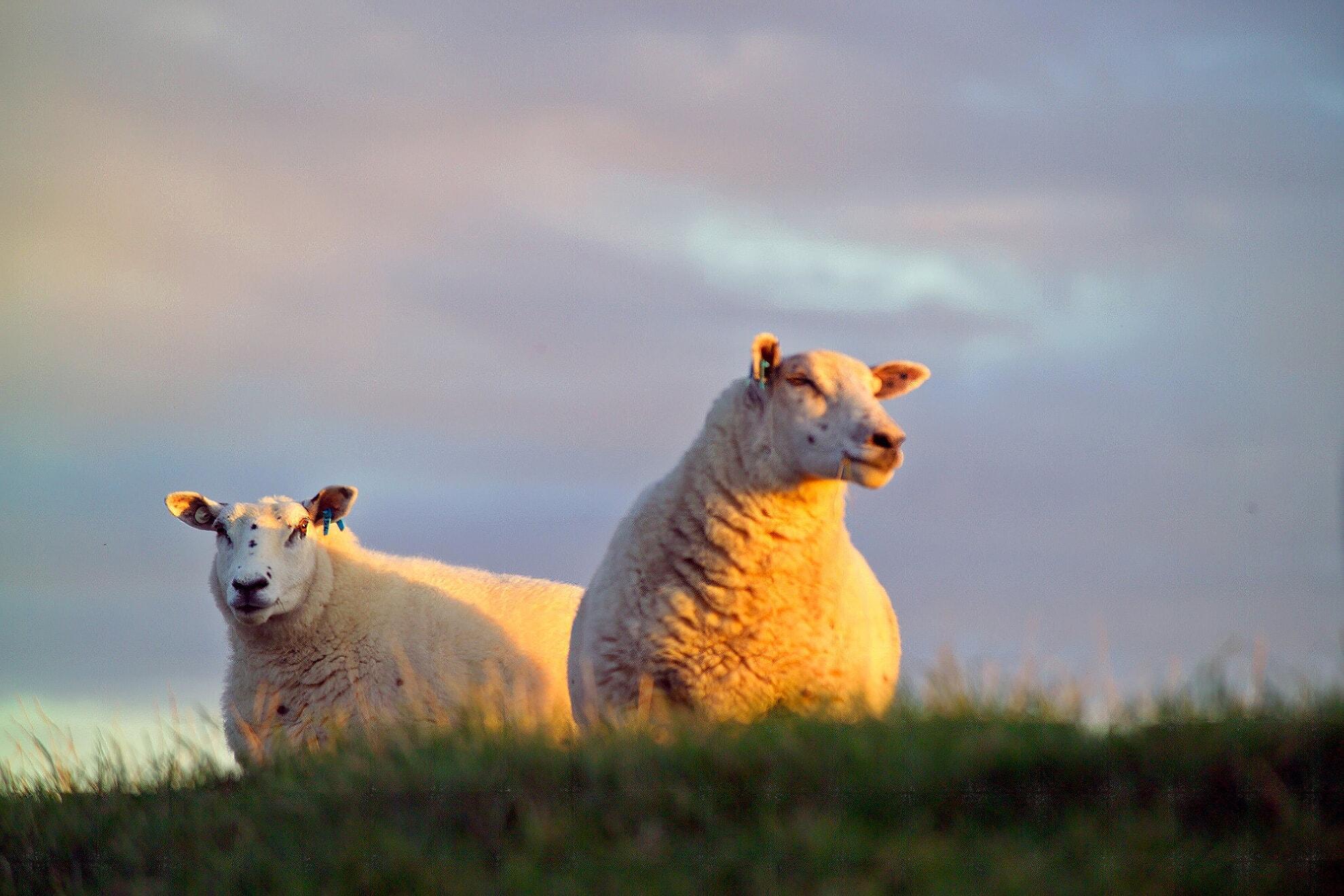 Schafe am Morsumer Deich