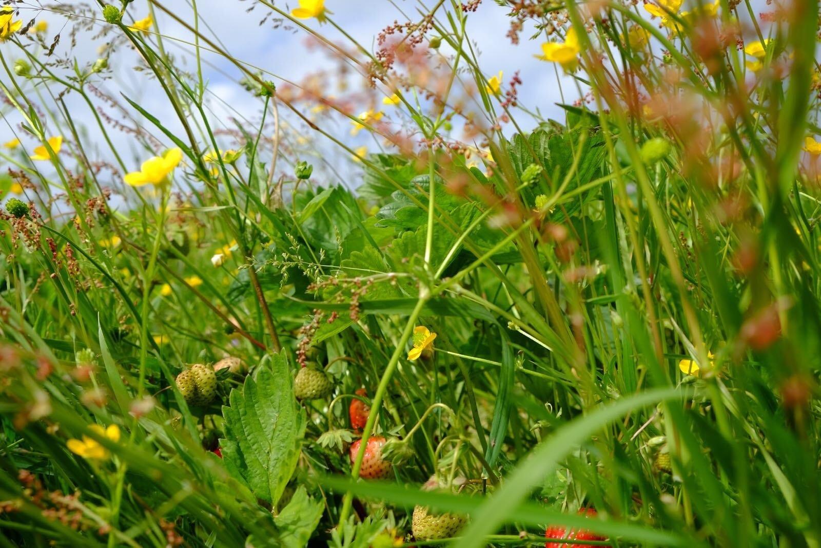 Erdbeeren auf dem Feld in Braderup