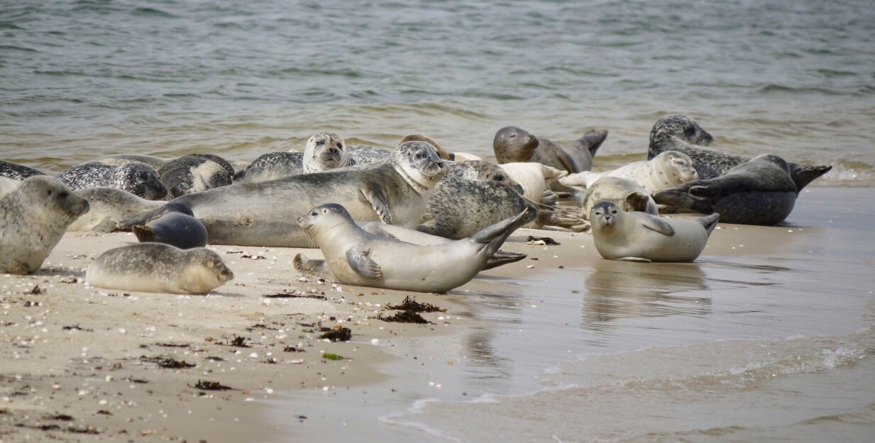 Seehunde finden einen ruhigen Rastplatz auf Uthörn.