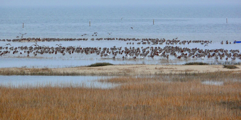 Die Hörnumer Nehrung ist ein wichtiger Rast- und Brutplatz für Küstenvögel.