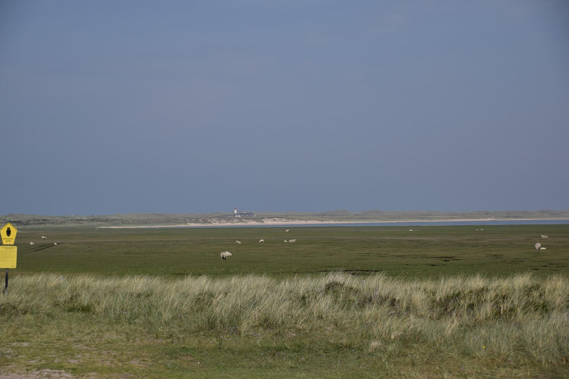 Blick auf den Leuchtturm und Schafe