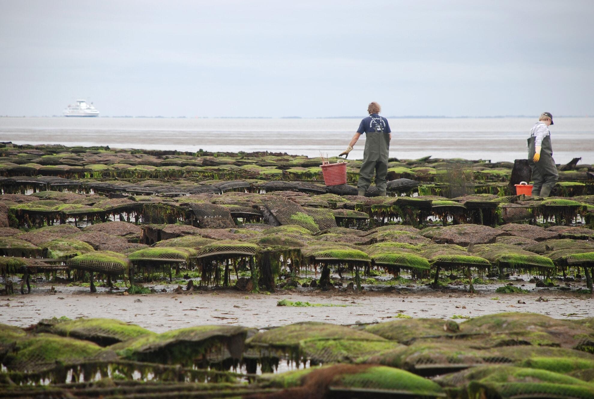 Austernfischer bei den Austernbänken vor List
