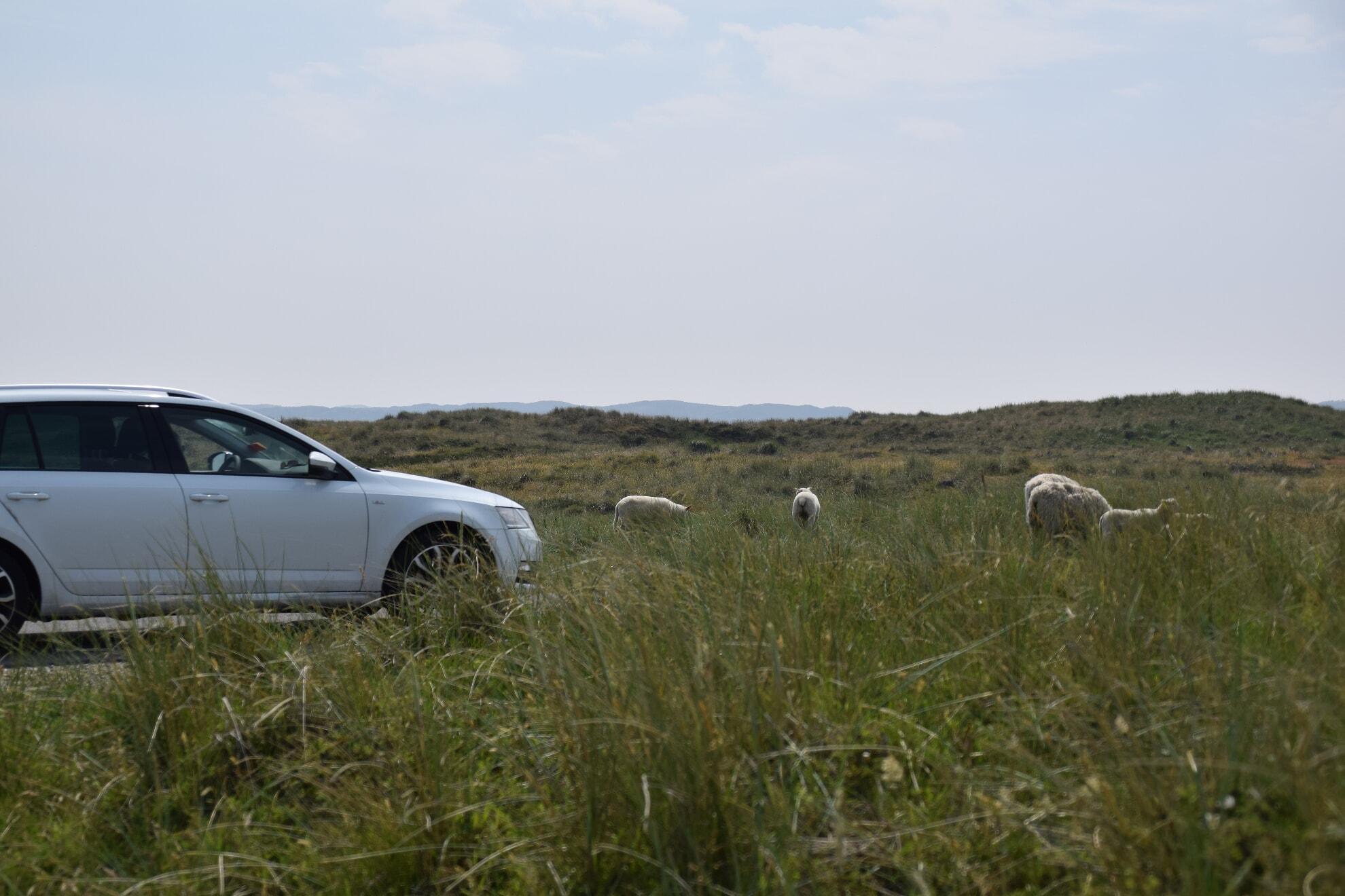 Parken wo die Schafe grasen