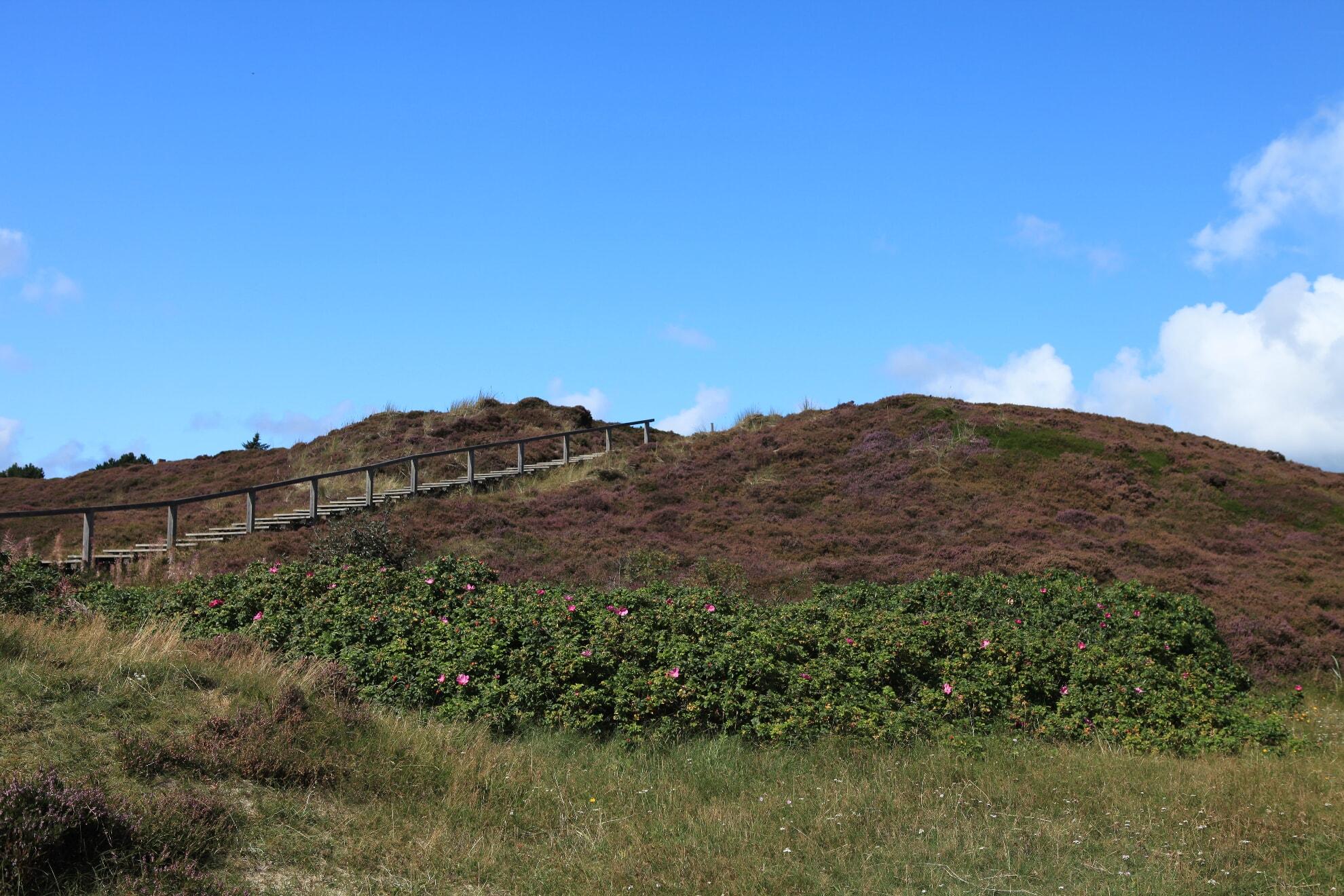 Blühende Heide mit Heckenrosen