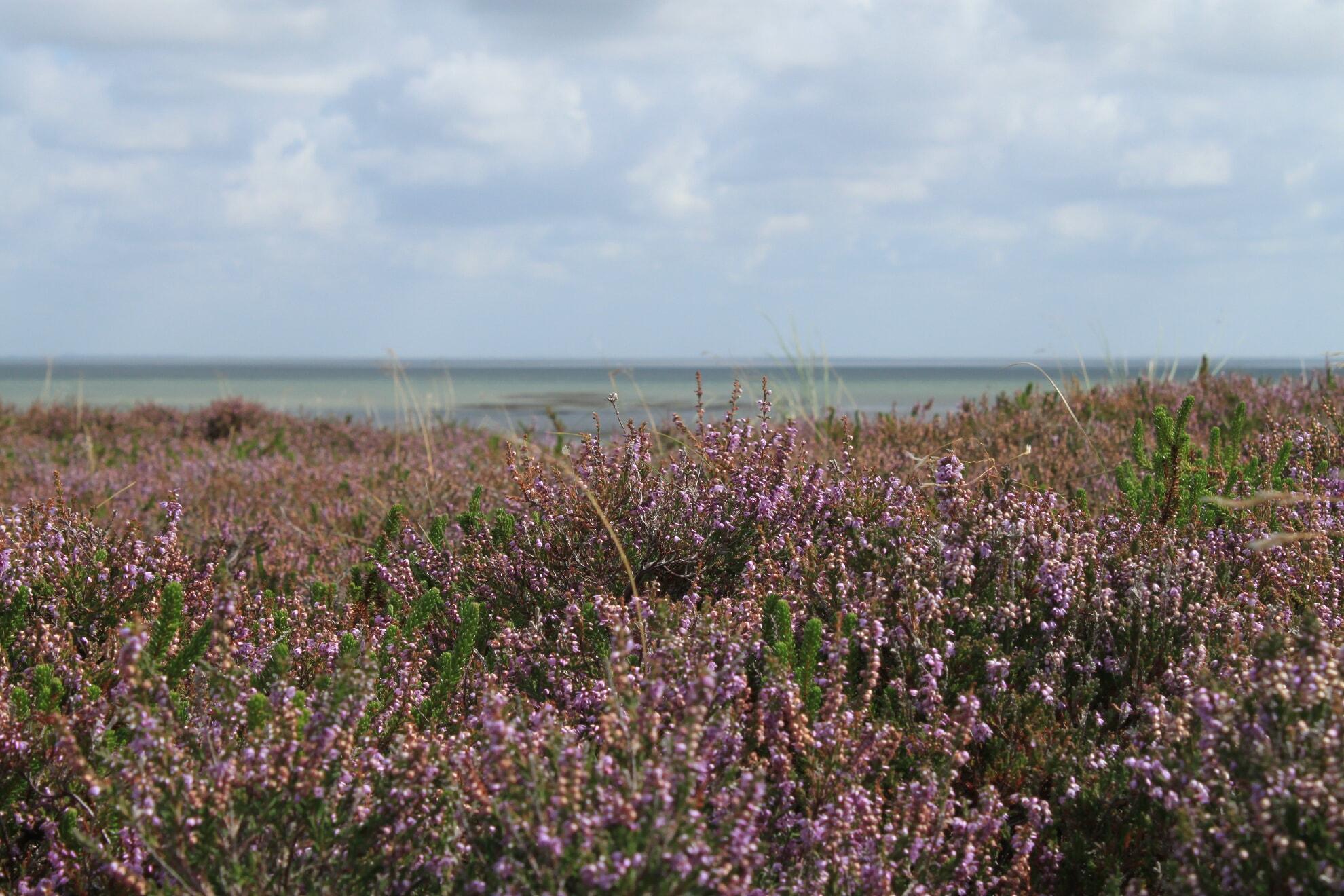 Blütenmeer in der Braderuper Heide