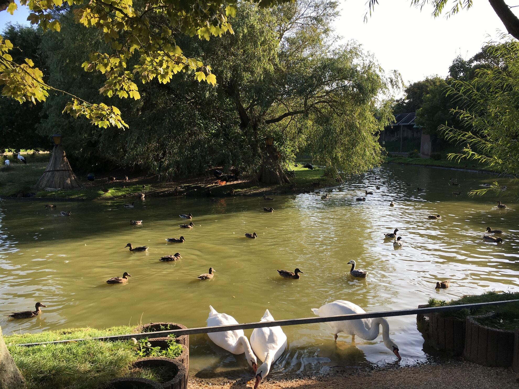 Schwäne und Enten im Teich