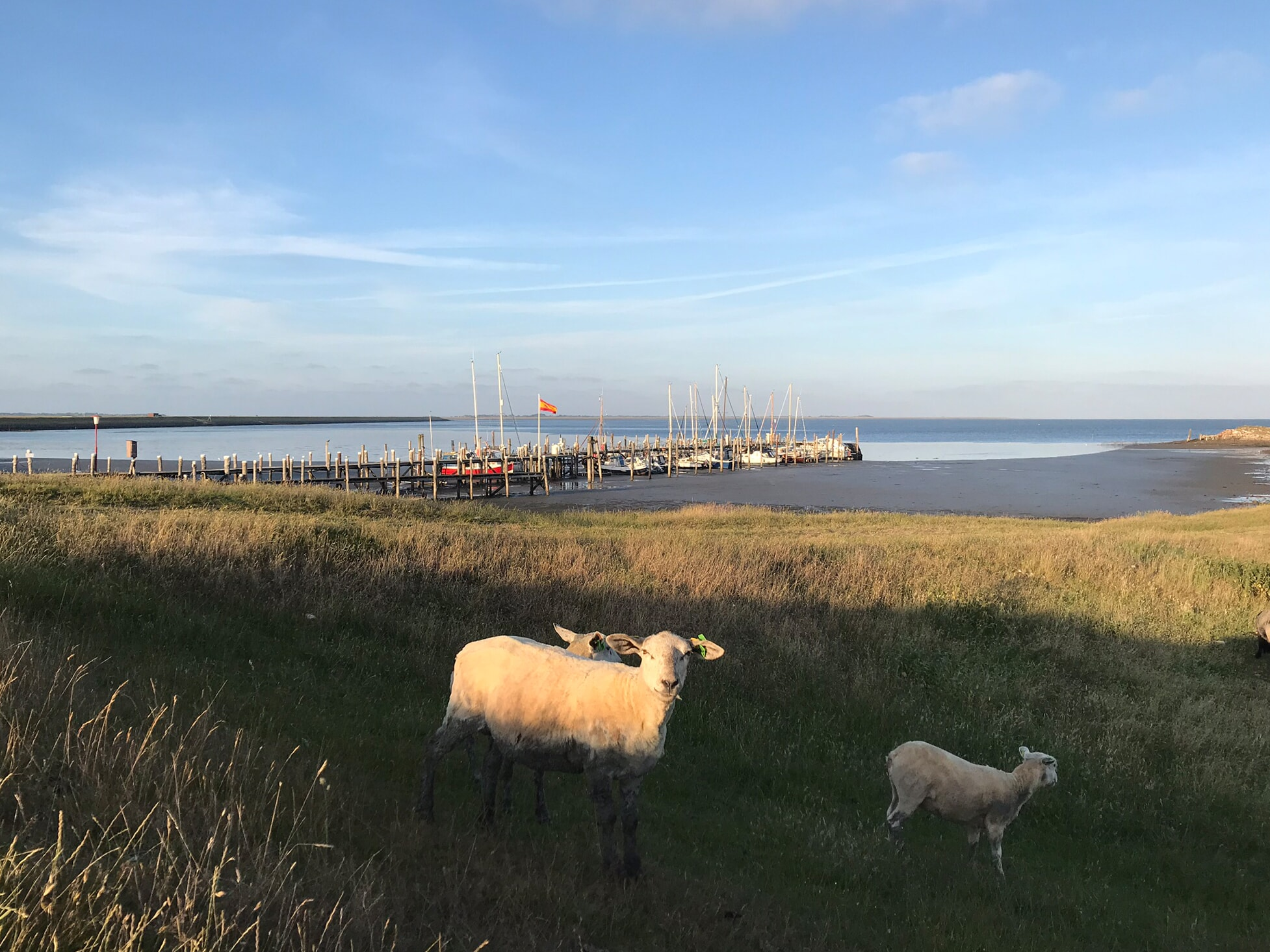 Schafe am Rantumer Hafen