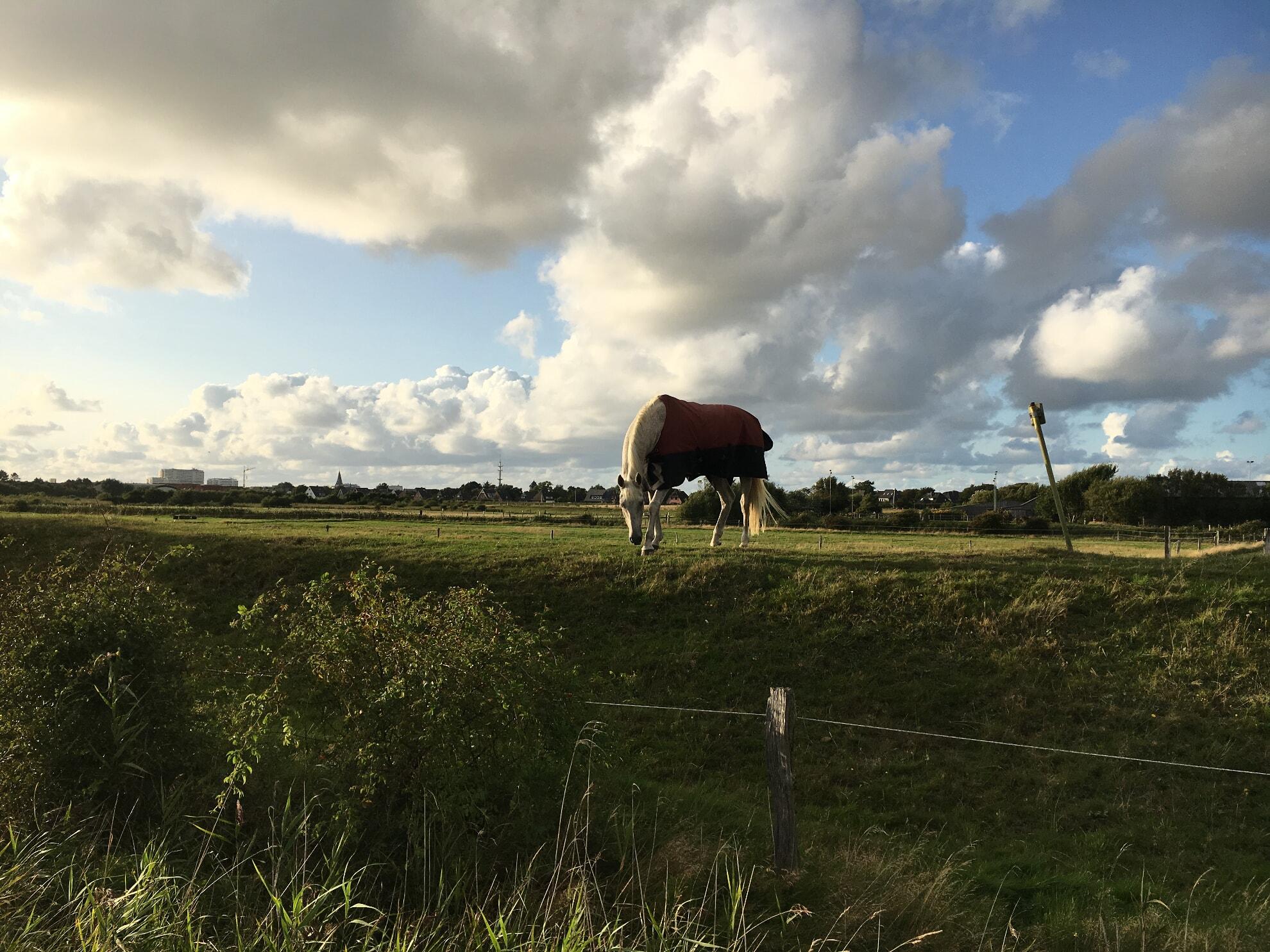 Pferd auf der Wiese des Pferdehof-Sylt