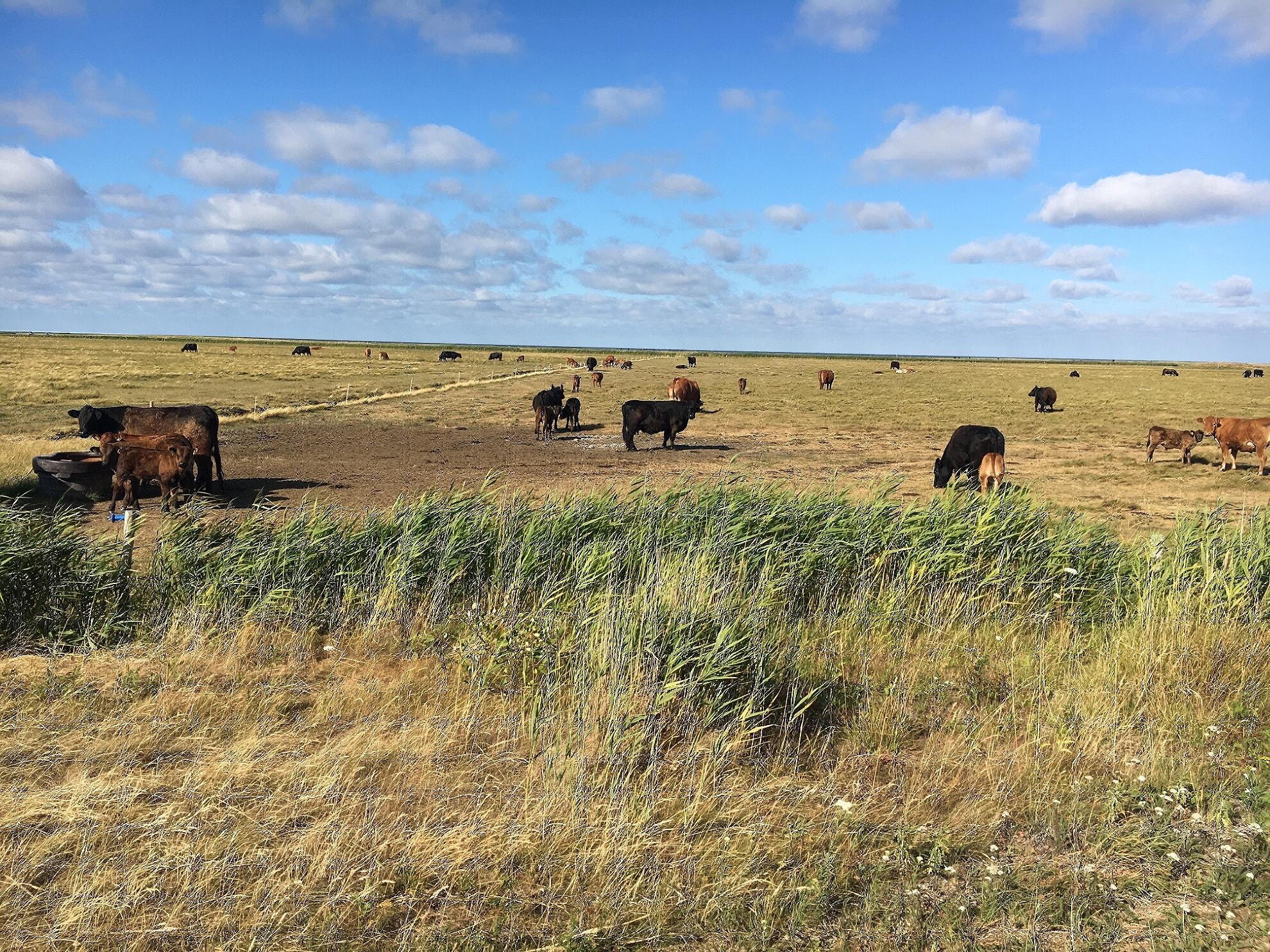 Kühe auf dem Weg