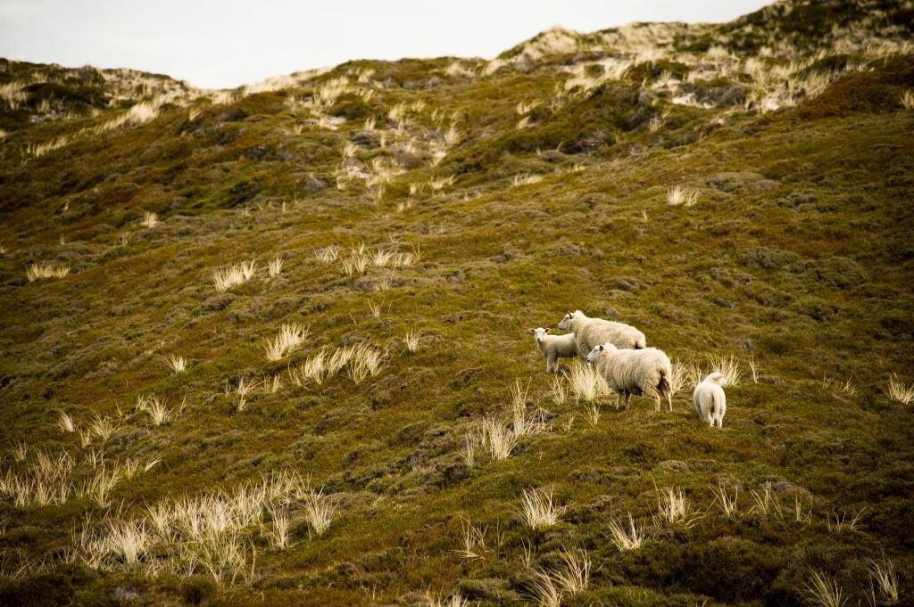 Schafe in den Lister Dünen