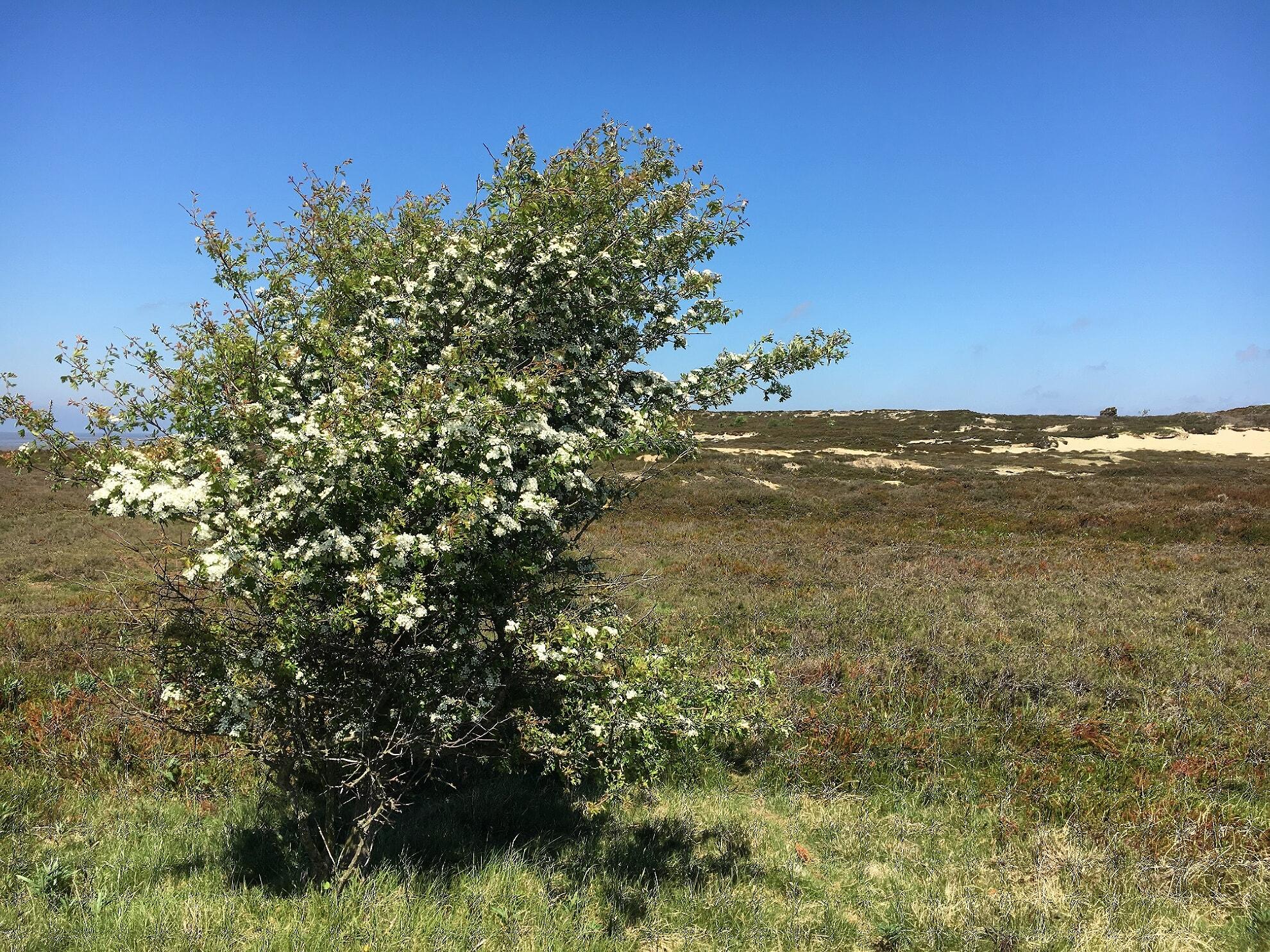 Heidelandschaft am Morsum Kliff