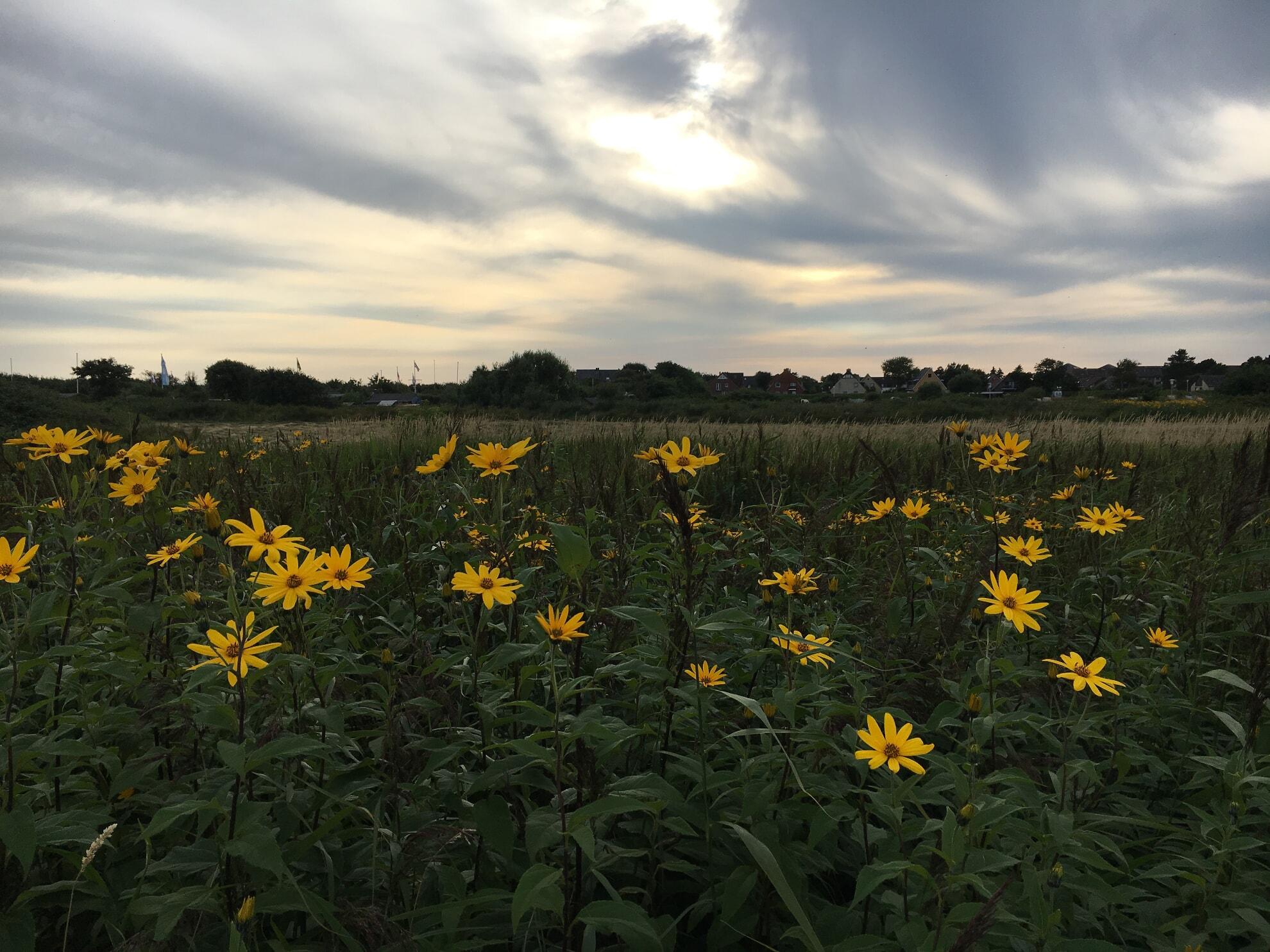 Blumen in den Tinnumer Wiesen