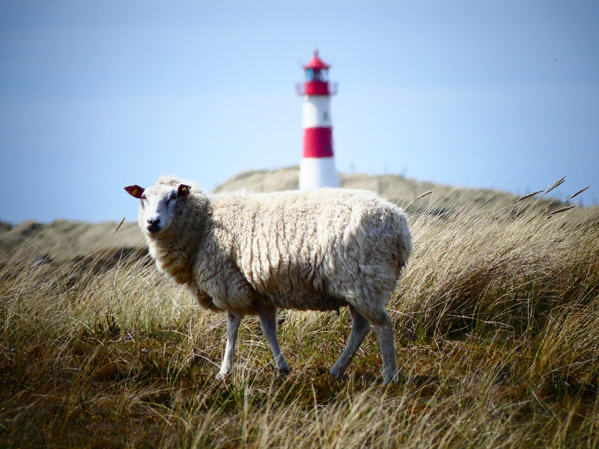 Schaf am Ellenbogen