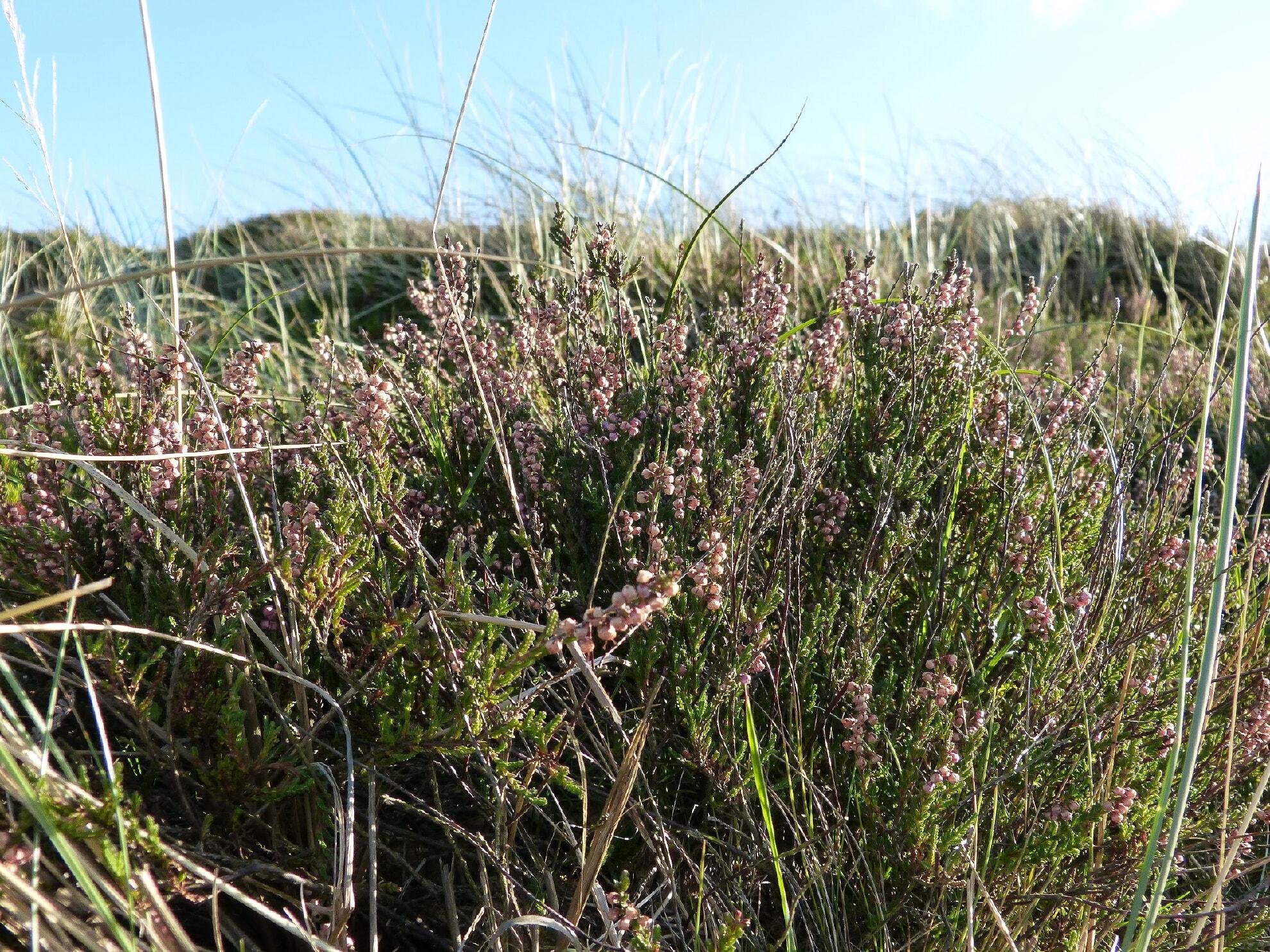 Heide am Morsum Kliff