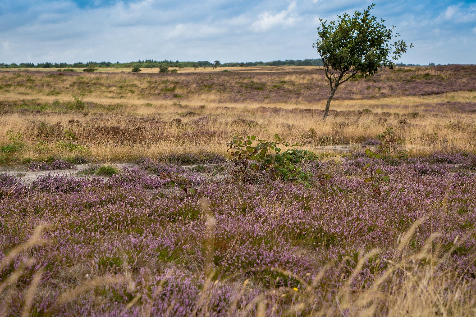 Braderuper Heide im Sommer