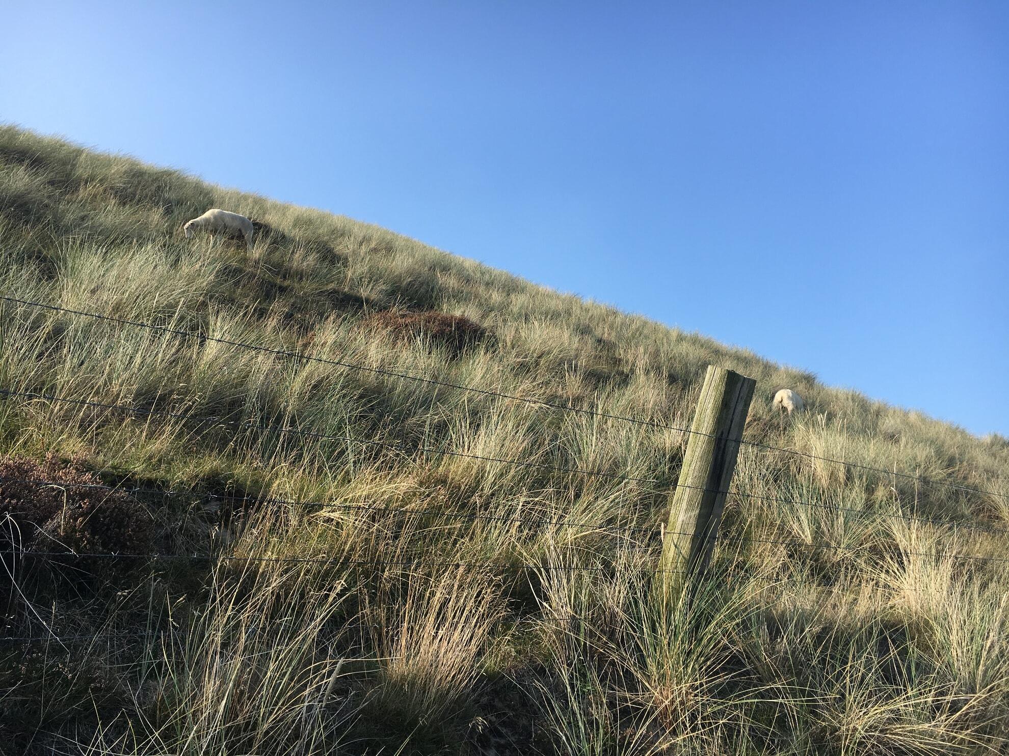 Schafe im Listland