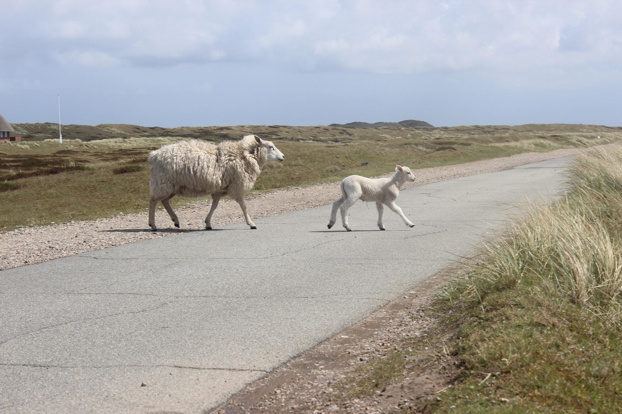 Schafe kreuzen die Straße am Ellenbogen